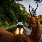 Gießen: Wildtiere auf der Fahrbahn - Im Herbst steigt die Gefahr von Wildunfällen