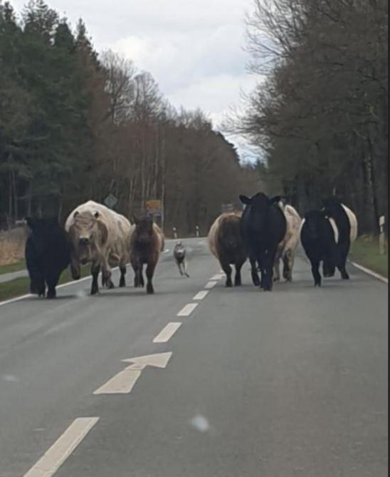 POL-CE: Faßberg – Mutmaßlicher Wolf versetzt Galloway-Rinder in Angst und Schrecken +++ 10 Rinder durchbrechen Weidezaun und flüchten auf Landstraße